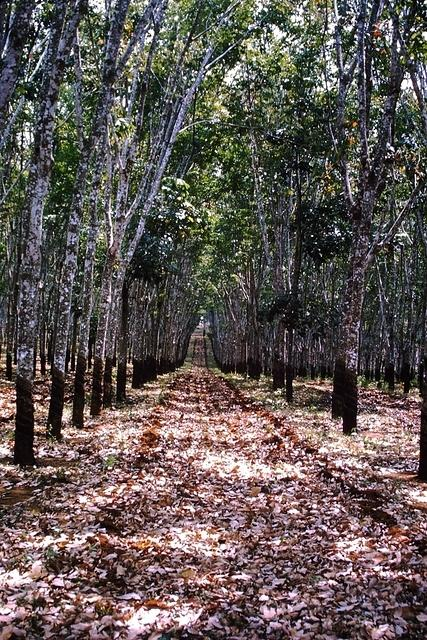 Rubber tree plantation Ban Me Thout
